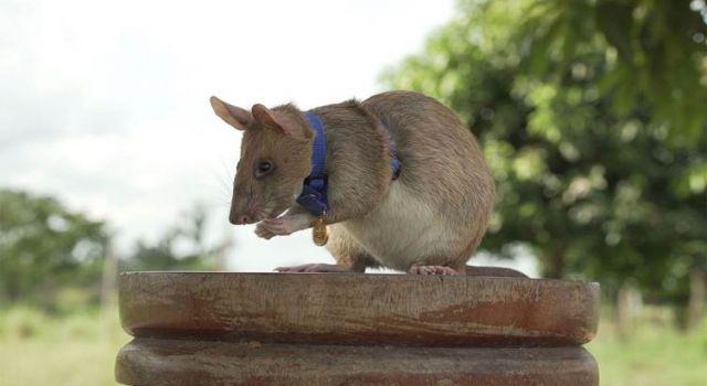 Mayın ve patlayıcı bulan fareye cesaret madalyası verildi!