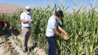 Van'da silajlık mısır hasadı başladı